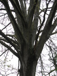 SX22069 Tree split into many branches.jpg