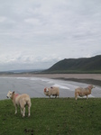 SX22625 Sheep and Rhossili Bay.jpg