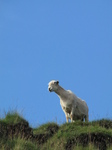 SX22849 Sheep on the lookout.jpg