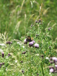 SX22902 Butterfly on thistle.jpg
