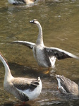 SX22947 Swan stretching its wings.jpg