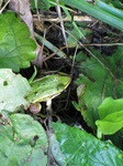 SX24017 Frog underneath leaves in Biesbosch.jpg