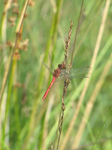 SX24232 Red dragonfly.jpg