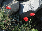 SX24342 Three poppies among rocks.jpg