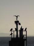 SX25741 Silhouetted Cormorants (Phalacrocorax carbo) on structure.jpg