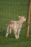 D7D00473 Lamb licking rain water from fence post.jpg