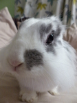 LZ00192 Curious Cleo the rabbit close up.jpg