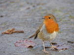 20140202 Robins in St Fagans National History Museum Cardiff, Wales