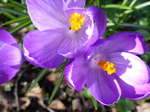 FZ003346 Close up of purple Crocus (Crocus longiflorus).jpg