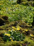 FZ004227 Yellow flowers and moss in possible quary for Tinkinswood burial chamber.jpg