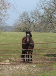 FZ004242 Horse waiting at fence.jpg