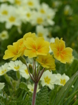 FZ004560 Yellow flower Primrose.jpg