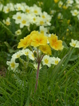 FZ004561 Yellow flower Primrose.jpg