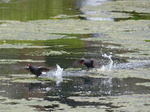 FZ004572 Moorhens running on water.jpg