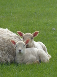 FZ004648 Two little lambs cuddled up to sheep.jpg