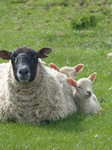 FZ004662 Two little lambs cuddled up to sheep.jpg