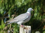 FZ005560 Pigeon on post.jpg