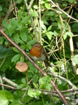 FZ005569 Robin with food on branch.jpg