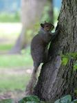 20140629 Squirrel in Bute Park