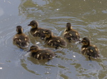 FZ006049 Ducklings.jpg