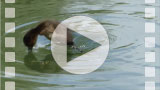 FZ006251 Duck diving Tufted duckling (Aythya fuligula).mp4