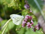 FZ006807 Small white butterfly (Pieris rapae) on flower.jpg