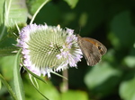 FZ006870 Meadow Brown butterfly (Maniola jurtina).jpg