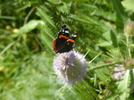 FZ006895 Red Admiral (Vanessa atalanta) butterfly on thistle.jpg