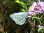 FZ006927 Small white butterfly (Pieris rapae) on flower.jpg