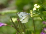 FZ006963 Small white butterfly (Pieris rapae) on flower.jpg