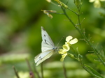 FZ006965 Small white butterfly (Pieris rapae) on flower drinking.jpg