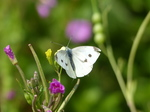 20140805 Butterflies near Llantwit Major beach