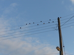 20140815 Birds on a wire
