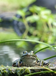 20140830-31 Frogs in pond