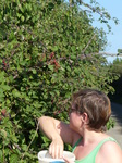 FZ008852 Jenni picking brambles.jpg