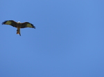 FZ008867 Red Kite (Milvus milvus).jpg