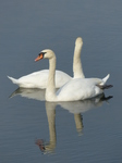 FZ008951 Mute Swans in Ogmore river.jpg