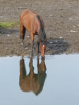 FZ008965 Horse drinking in Ogmore river.jpg