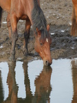 FZ008970 Horse drinking in Ogmore river.jpg