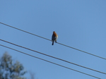 20141017 Robin on wire