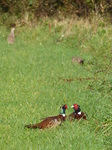 FZ009256 Common Pheasants (Phasisnus colchicus) in field.jpg