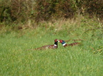 FZ009262 Two male common Pheasants (Phasisnus colchicus) in field.jpg
