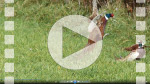 FZ009275 Two male common Pheasants (Phasisnus colchicus) fighting in field.mp4