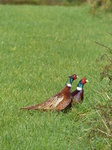 20141025 Common Pheasants (Phasianus colchicus) fighting in field