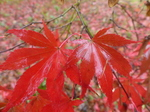 FZ009406 Red mable leaves.jpg
