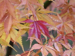 FZ009457 Single red leaf among yellow leafs.jpg