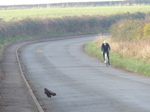 20141129 Buzzard on the road