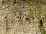 FZ010650 Crows flying by wall of Caerphilly castle.jpg