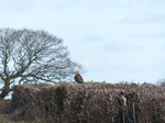 FZ011891 Buzzard (Buteo buteo) in hedge.jpg