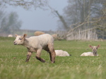 FZ012161 Lamb on the run.jpg